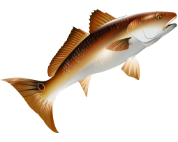 red drum vector, red drum, red tail